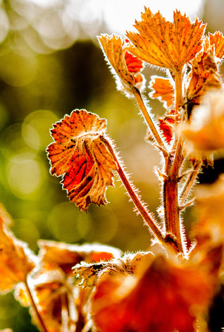 geranium uitgebloeid