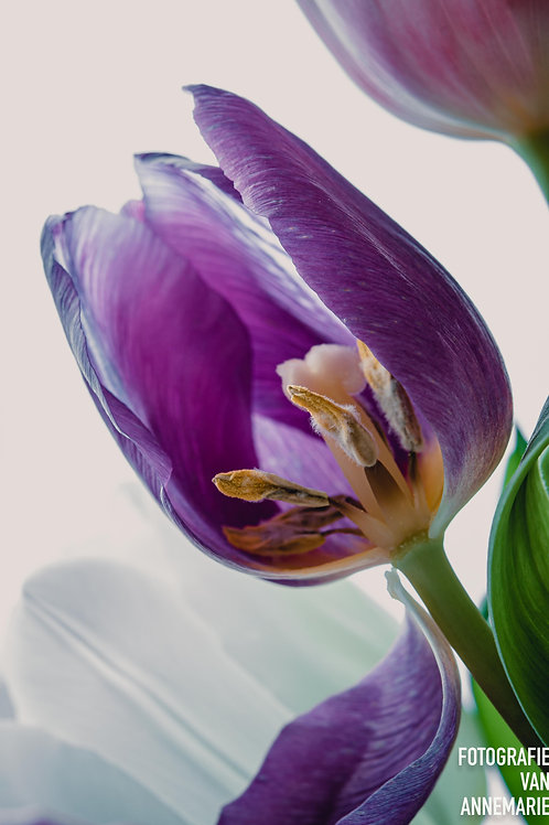 Tulp, enkel