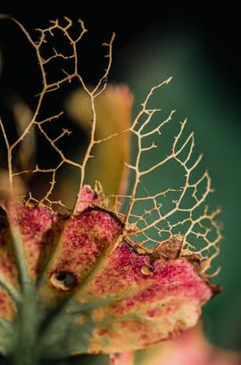 hortensia najaar