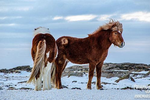 IJslanders 2