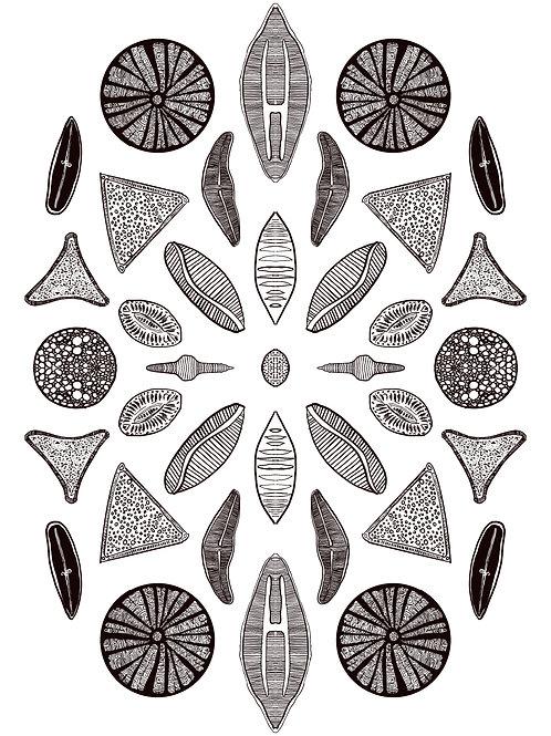 Diatoms Composition (A4)