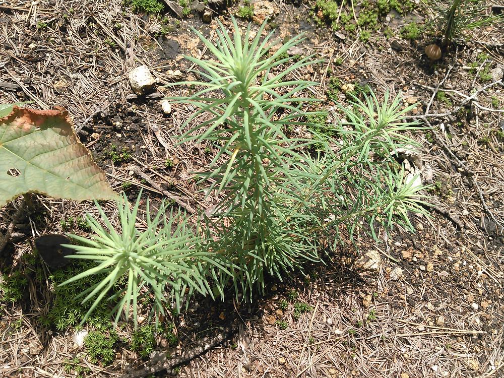 芽生えて2年目のカラマツの稚樹です。
