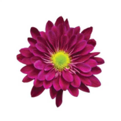 daisy, purple