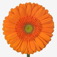 orange, clear center