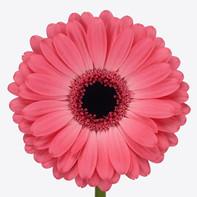 hot pink, dark center