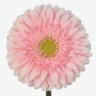light pink, clear center
