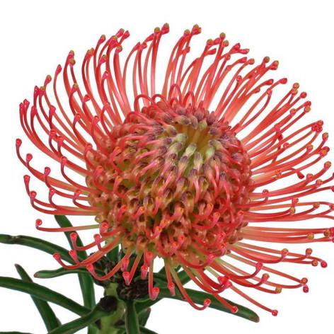 pincushion, red