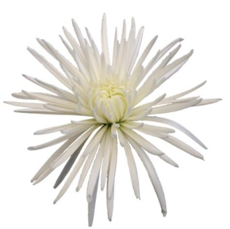fuji, white