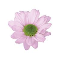 daisy, lavender