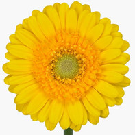 yellow, clear center