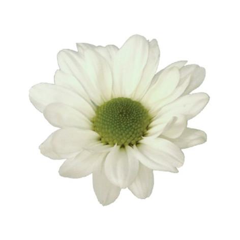 daisy, white