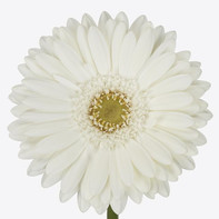 white, clear center