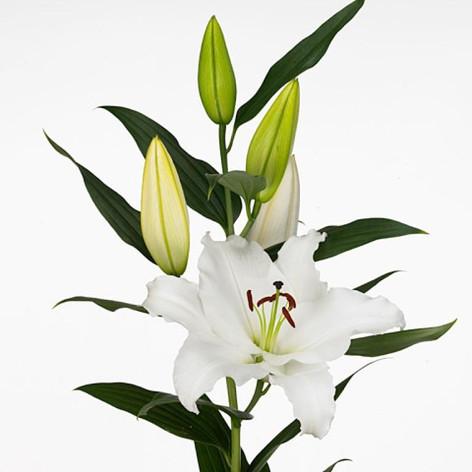 oriental, white