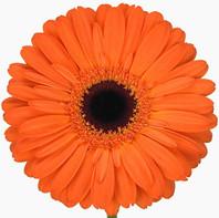 orange, dark center