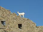 Chèvre sur un toit en ruines