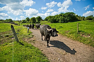 susan the senior buffalo leading.jpg