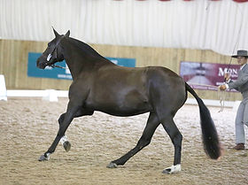 Breed show 2017 canter p4e e.jpg