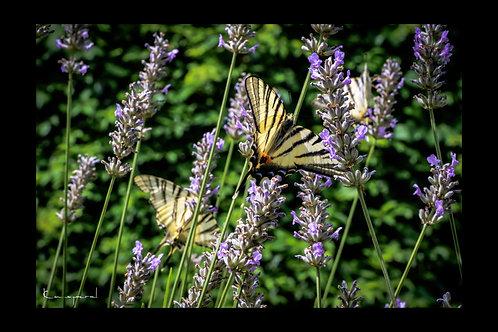 Papillons et Lavandes