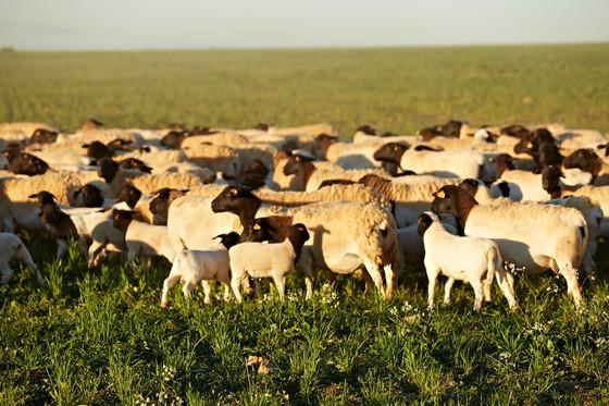 Sustainable Prime Lamb