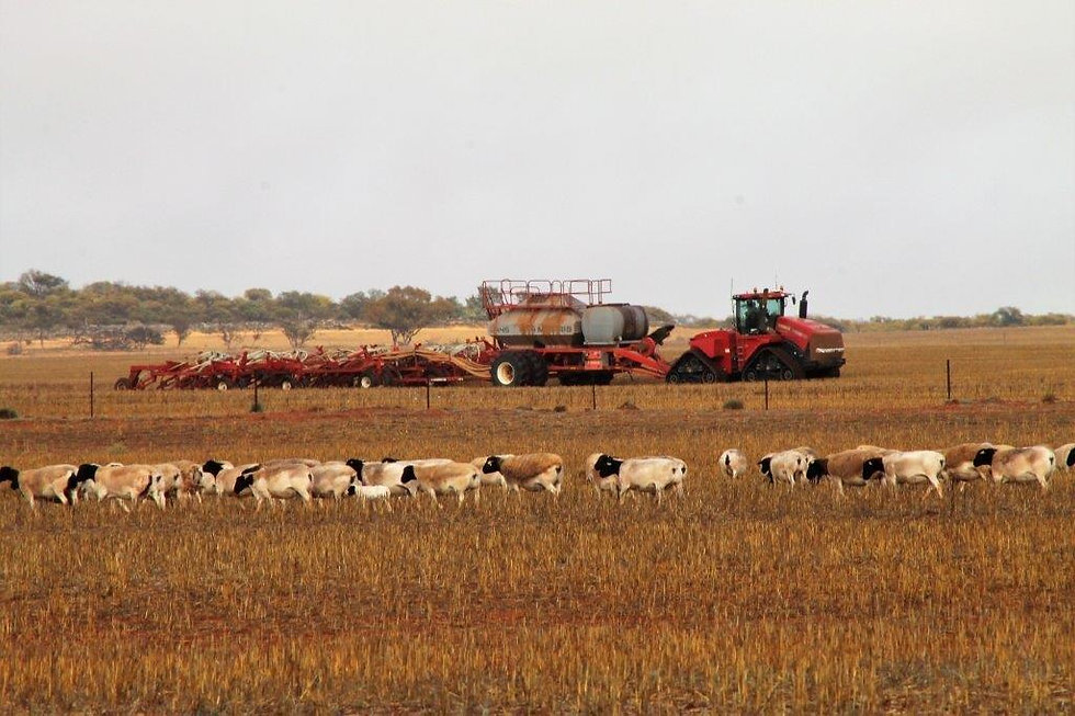 Dorper Grazing during seeding 2017.jpg