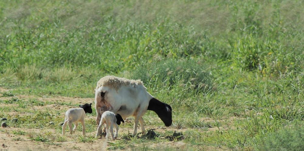 Lambing on sub tropical perennial pastures