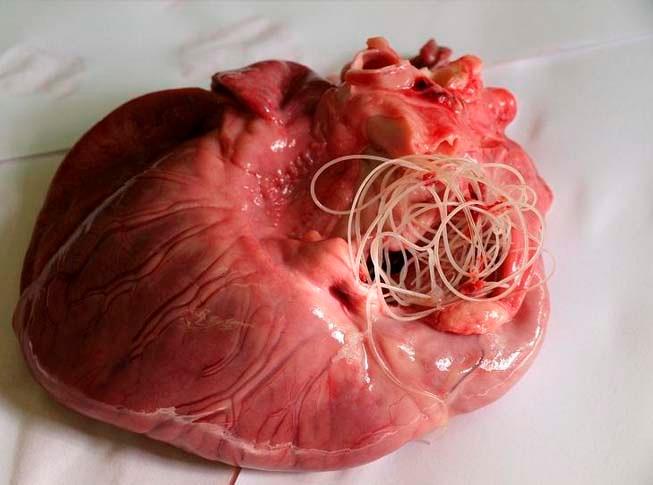 Гельминты в сердце