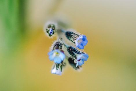 "Tirage Fine Art ""Fleurs bleues microscopiques du jardin"" Virginie KLOCK 3iphotographie"
