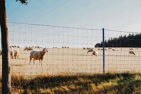 mouton-3iphotographie-1-2.jpg