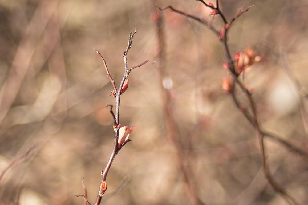 bourgeons rosier