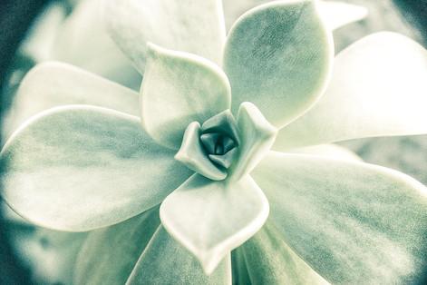 """Tirage Fine Art """"Succulente"""" Virginie KLOCK 3iphotographie"""