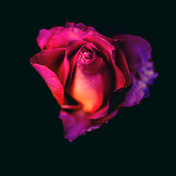Rose Journey COVER orig