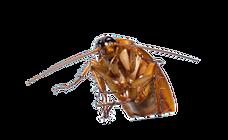 blattes lyon