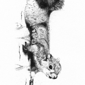 """limited edition print  """"Cautious Descent"""" squirrel inching down the trunk of an aspen tree"""