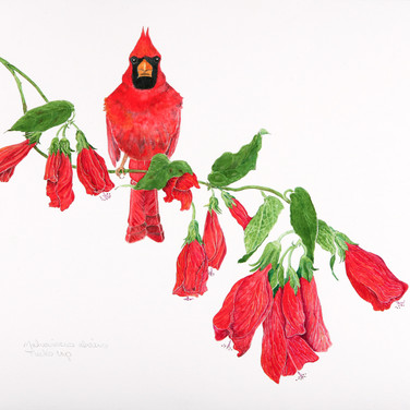 Bright red cardinal on a blooming branch of Turk's cap   watercolor on paper