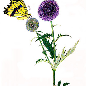 """""""a million"""" tiny florets compose this beautiful plant, with a natural pollinator  colored pencil on paper"""