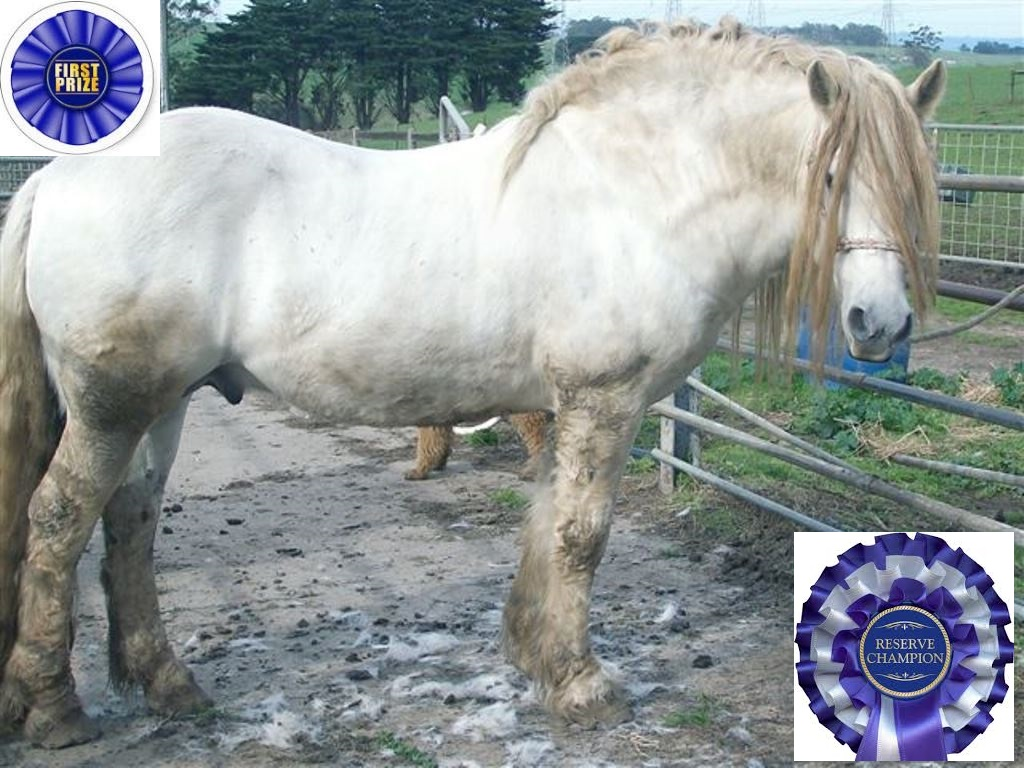Reserve Champion Highland Stallion