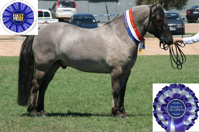Reserve Champion purebred Gelding