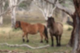 Highland Pony mares