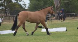Part bred highland pony