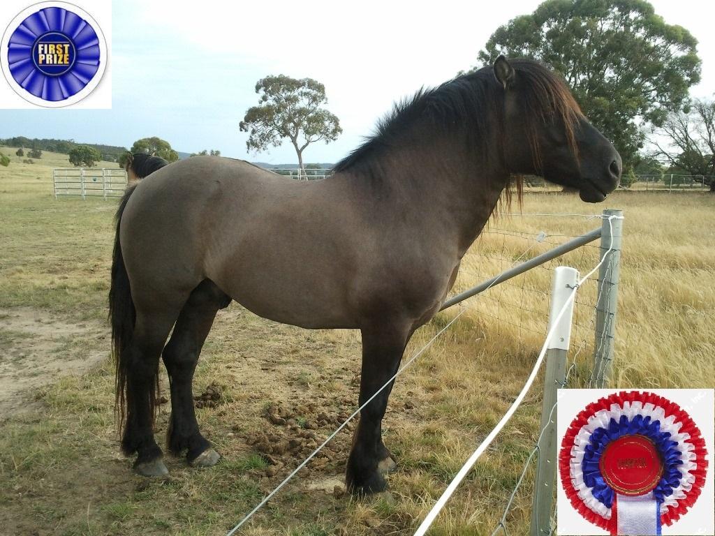 Champion Highland stallion