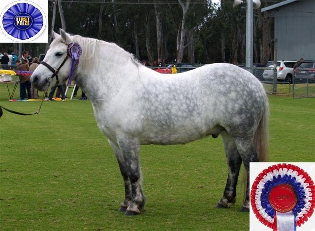 Champion purebred gelding
