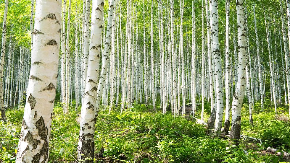 Summer birch forests.jpg