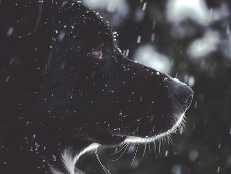 כלב שחור
