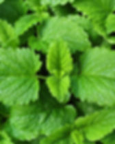 Lemon balm leaves from the garden - Meli