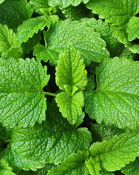 Lemon balm leaves from the garden - Meli