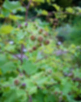 Medicinal plantation burdock. Arctium la
