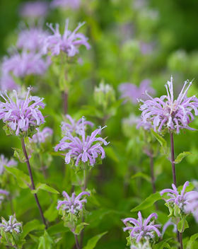 Wild Bergamot (Monarda fistulosa) flower