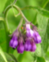 flowers of common comfrey, Symphytum off