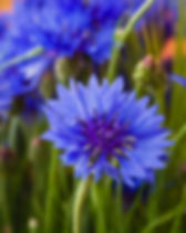 Beautiful wildflowers cornflowers.jpg