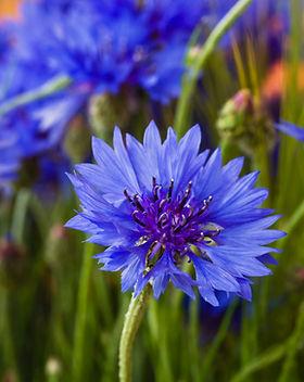 Beautiful wildflowers cornflowers.jpg